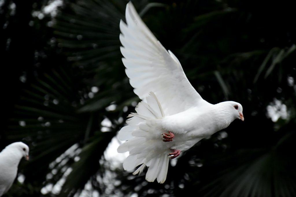 simbol-mira-beli-golub